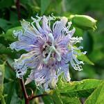 Passionflower- Passiflora incarnate